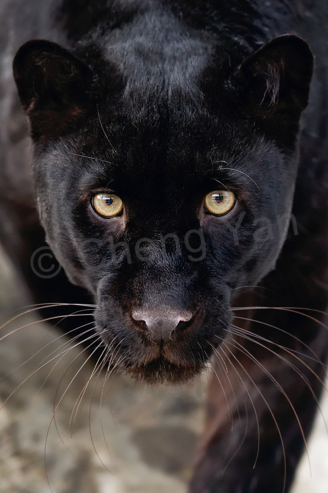 black-panthers-001