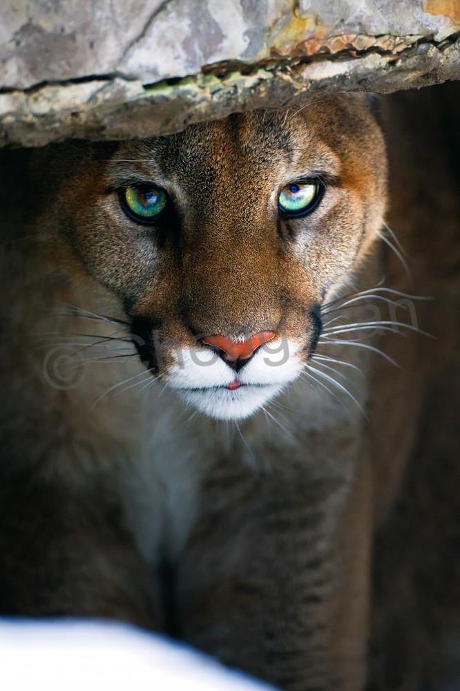 Cougars 005 Photography Art | Cheng Yan Studio