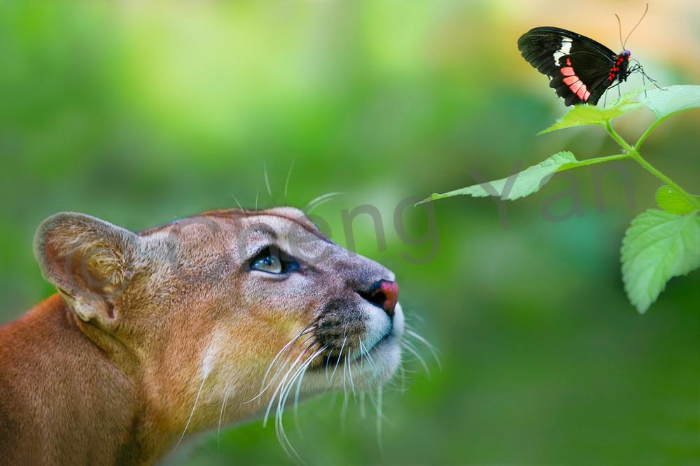 Cougars 004 Photography Art | Cheng Yan Studio