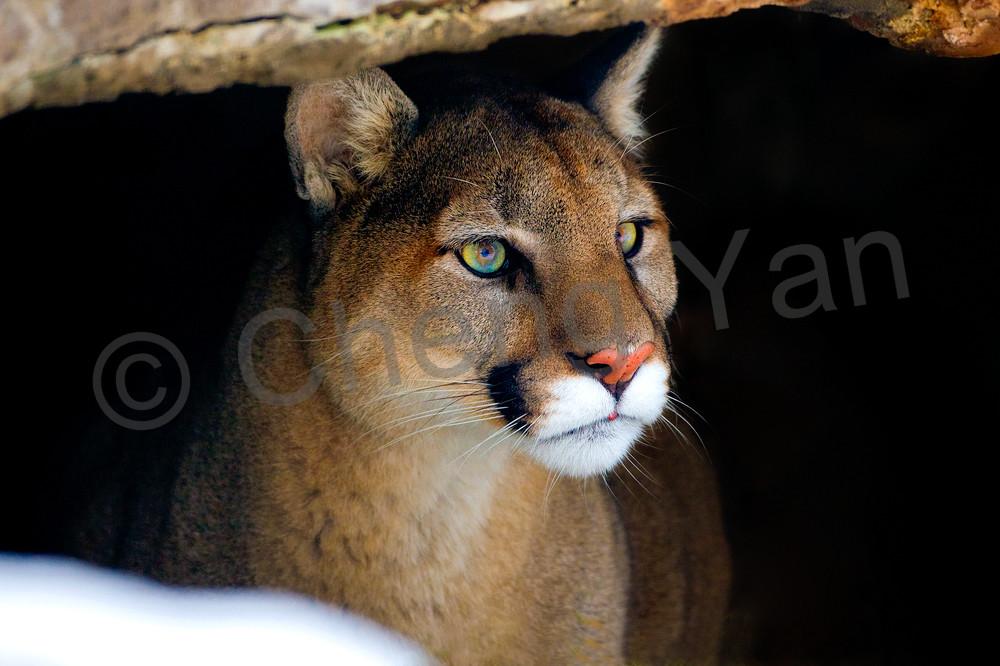 Cougars 006 Photography Art   Cheng Yan Studio