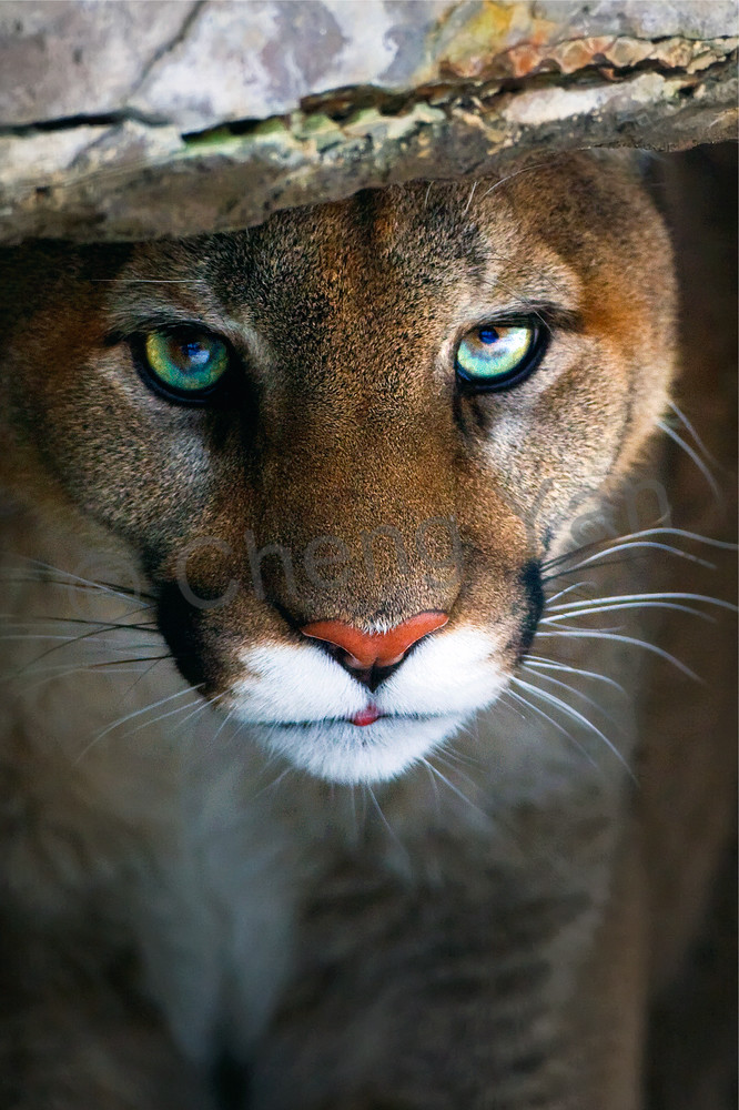 cougars-002