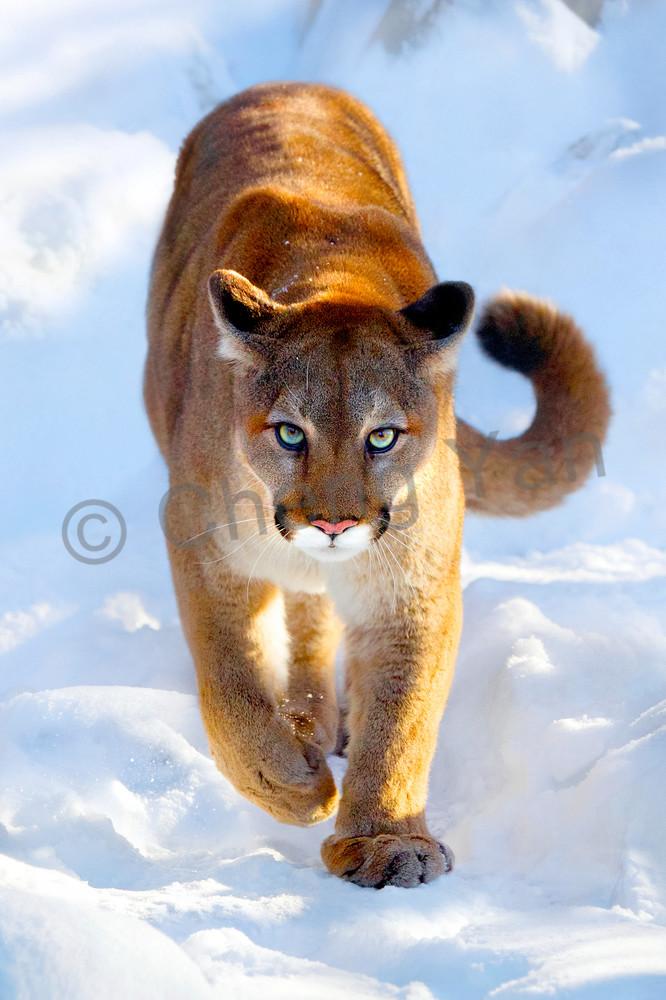 Cougars 001 Photography Art | Cheng Yan Studio