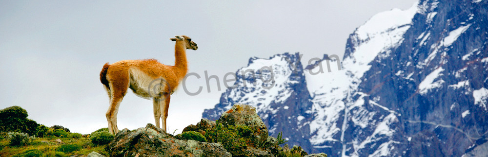 Llama 001 Photography Art | Cheng Yan Studio