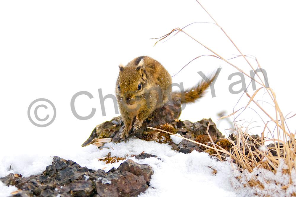 Squirrels And Chipmunks 004 Photography Art | Cheng Yan Studio