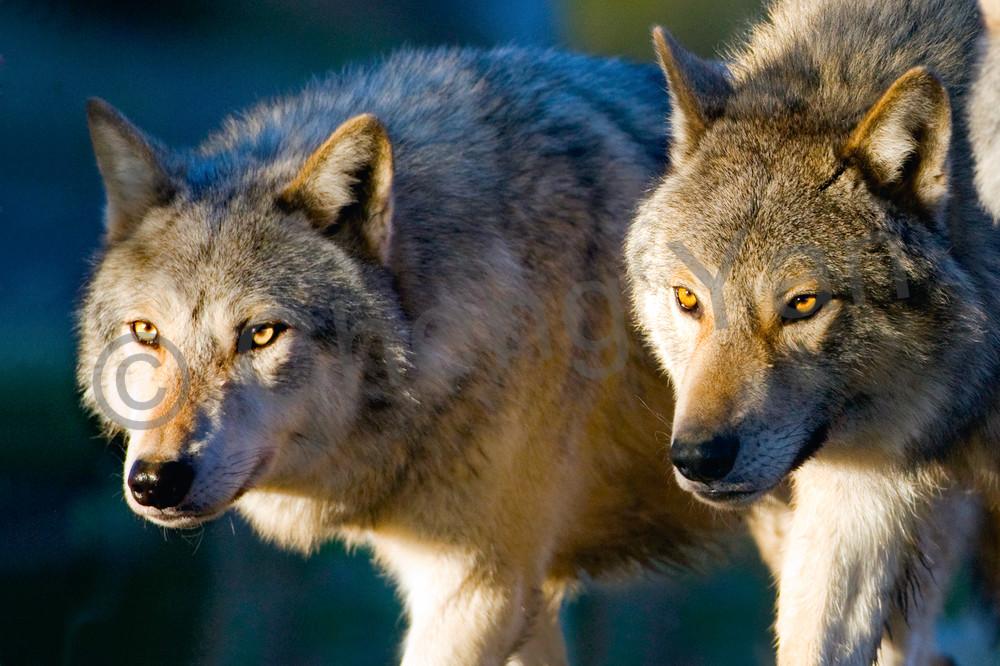 Wolves 002 Photography Art | Cheng Yan Studio