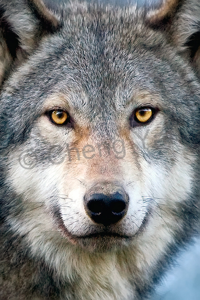 Wolves 007 Photography Art | Cheng Yan Studio