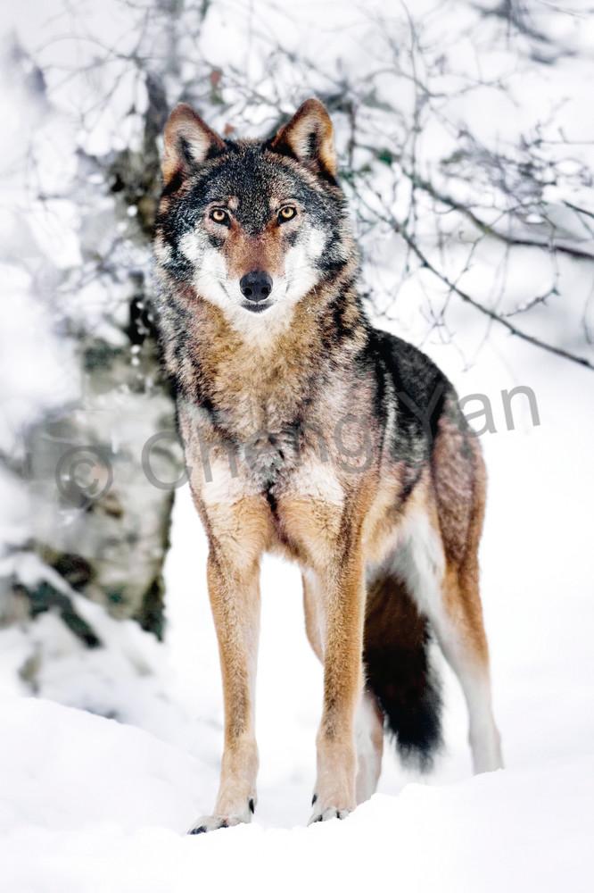 Wolves 008 Photography Art   Cheng Yan Studio