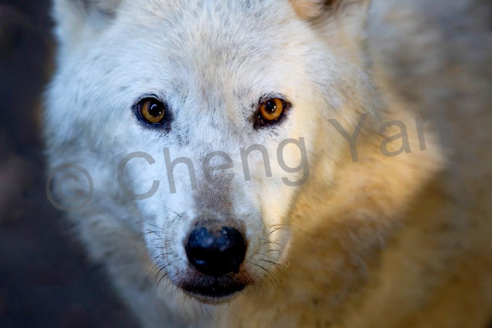 Wolves 015 Photography Art   Cheng Yan Studio