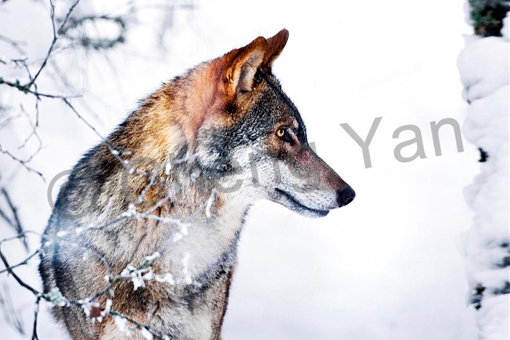 Wolves 019 Photography Art   Cheng Yan Studio