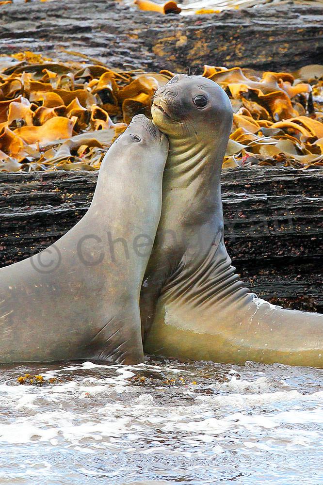Seals 002 Photography Art | Cheng Yan Studio