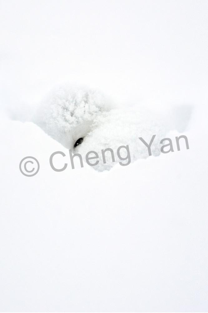 Arctic Foxes 003 Photography Art | Cheng Yan Studio