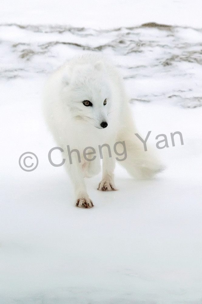 Arctic Foxes 008 Photography Art | Cheng Yan Studio