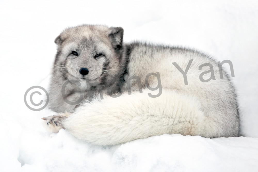 Arctic Foxes 009 Photography Art | Cheng Yan Studio