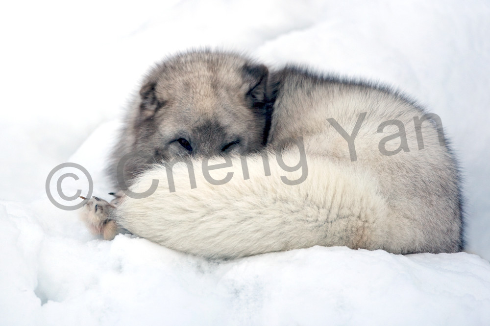 Arctic Foxes 010 Photography Art | Cheng Yan Studio