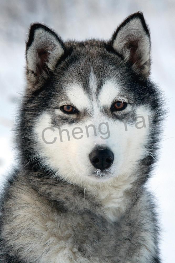 Husky 007 Photography Art | Cheng Yan Studio