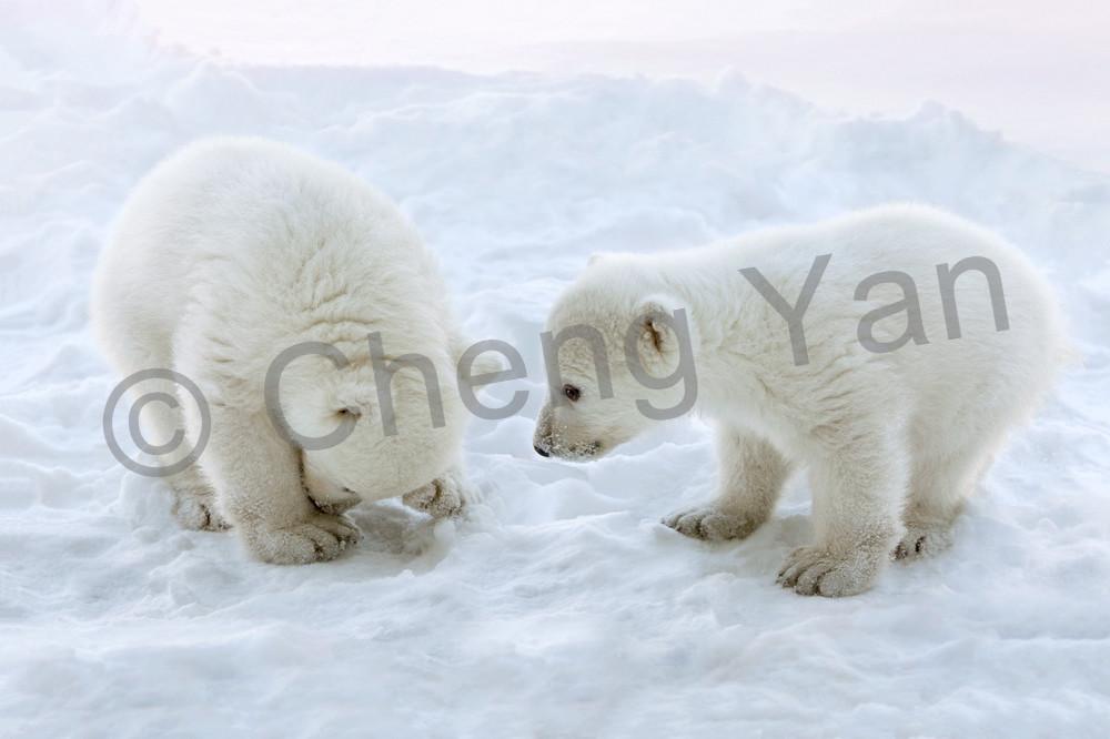 polar-bears-014