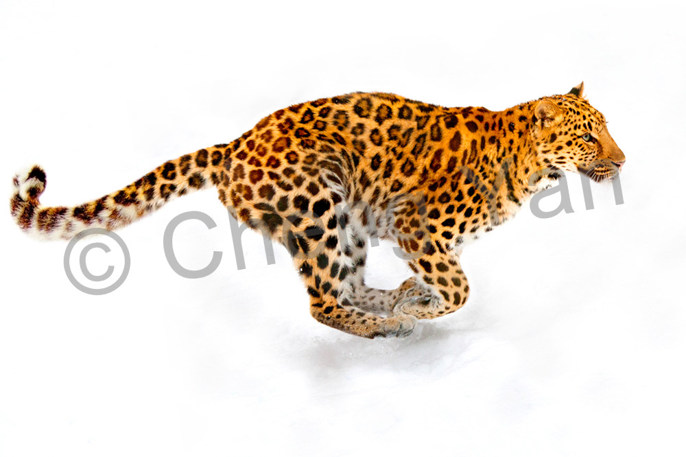 Amur Leopards 004 Photography Art | Cheng Yan Studio