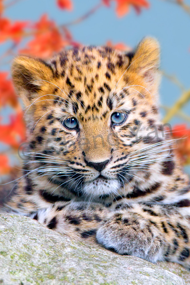 Amur Leopards 005 Photography Art | Cheng Yan Studio