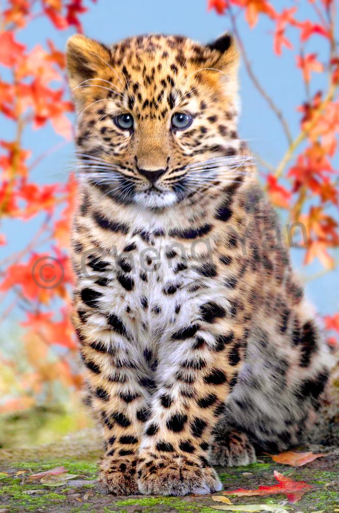 Amur Leopards 006 Photography Art | Cheng Yan Studio