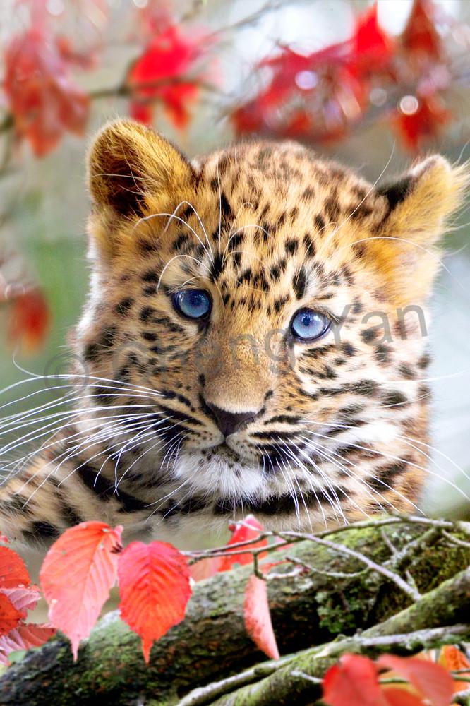 Amur Leopards 003 Photography Art | Cheng Yan Studio