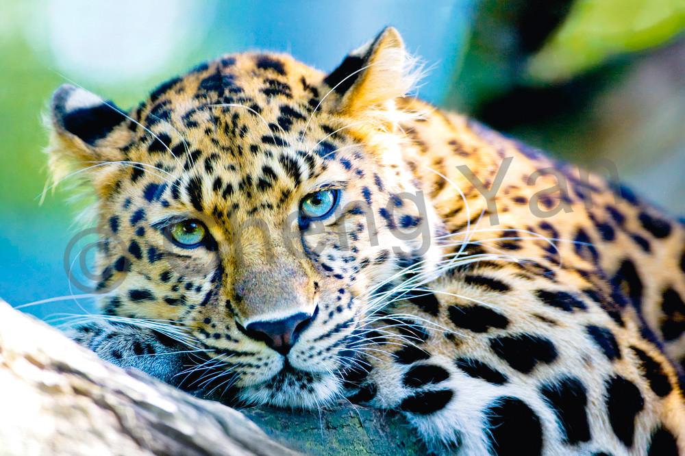 Amur Leopards 007 Photography Art   Cheng Yan Studio