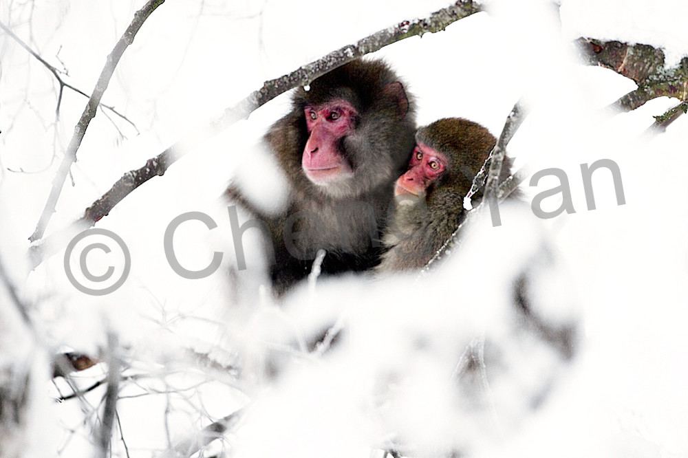 Japanese Macaques 011 Photography Art | Cheng Yan Studio