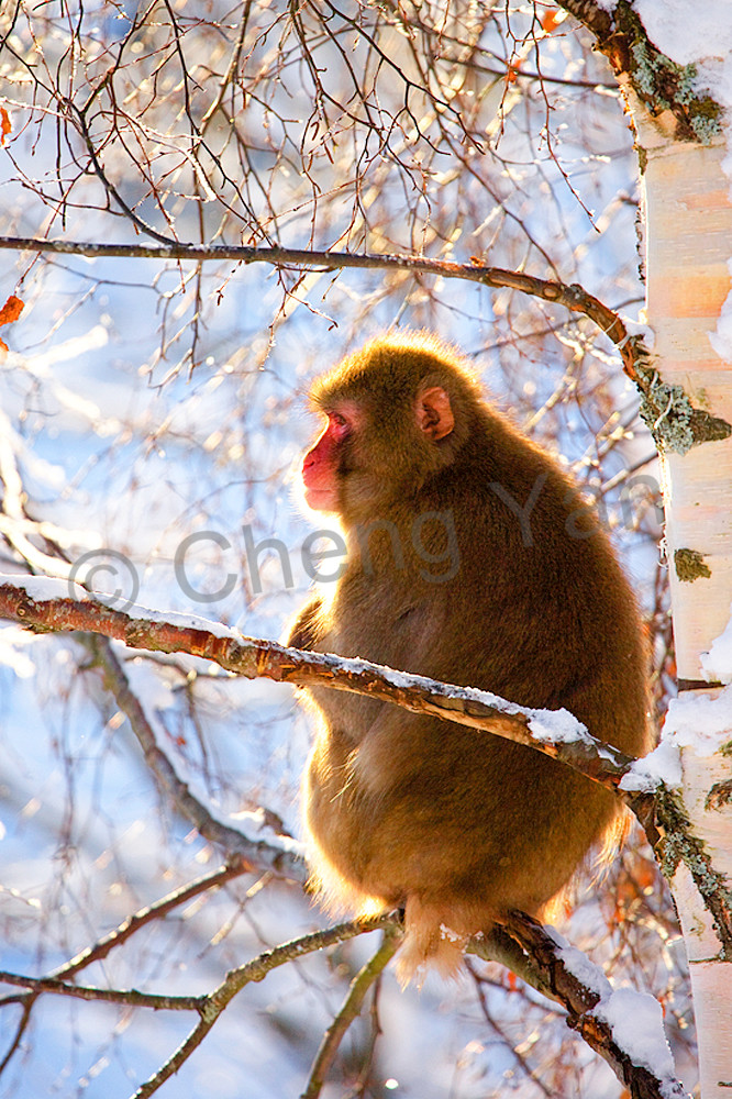 Japanese Macaques 010 Photography Art | Cheng Yan Studio