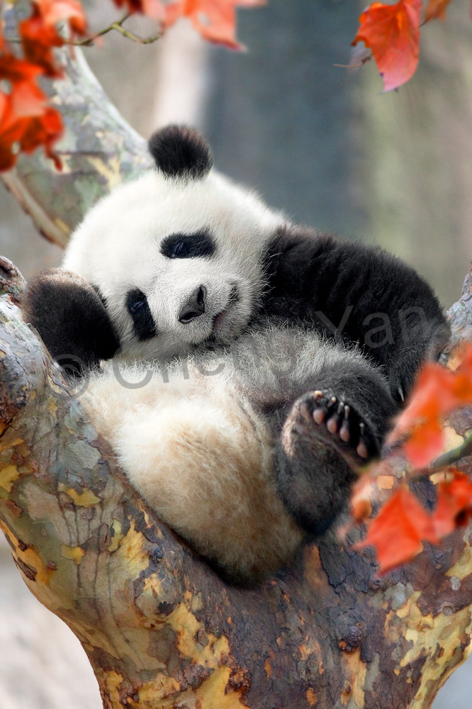 Pandas 003 Photography Art | Cheng Yan Studio