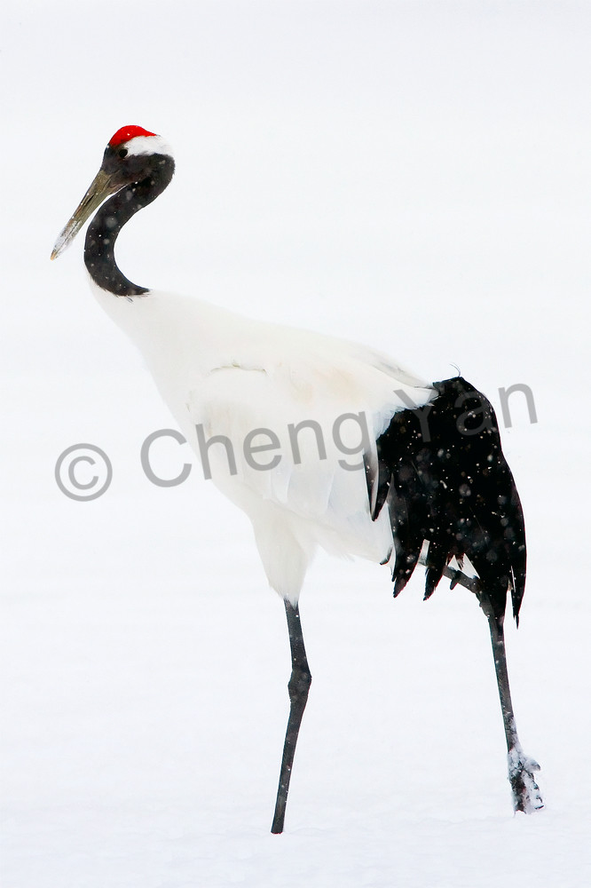 Red Crowned Cranes 004 Photography Art | Cheng Yan Studio