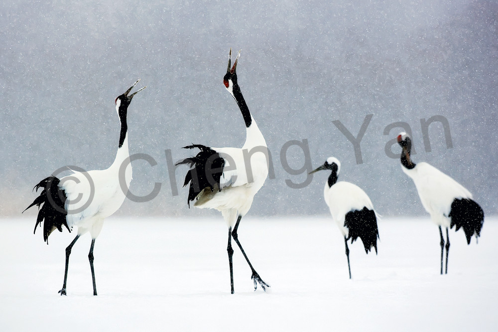 Red Crowned Cranes 007 Photography Art | Cheng Yan Studio