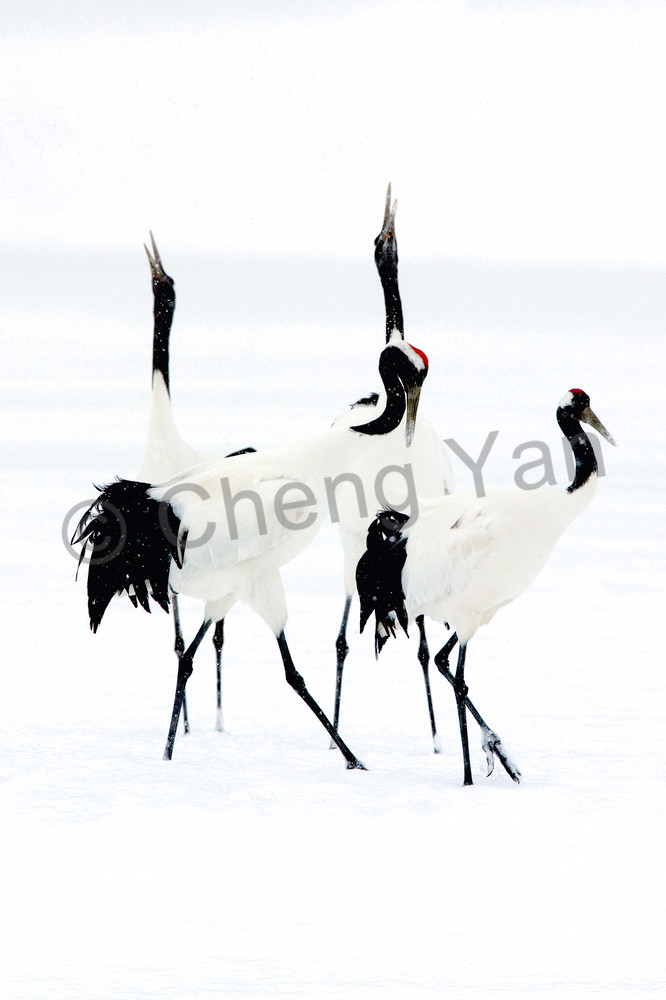 Red Crowned Cranes 010 Photography Art | Cheng Yan Studio