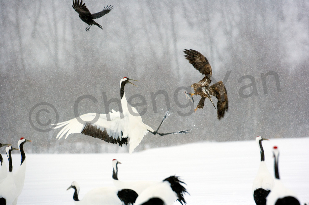 Red Crowned Cranes 013 Photography Art | Cheng Yan Studio