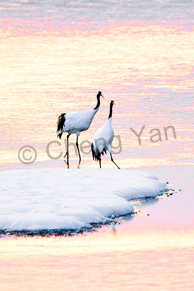 Red Crowned Cranes 011 Photography Art   Cheng Yan Studio