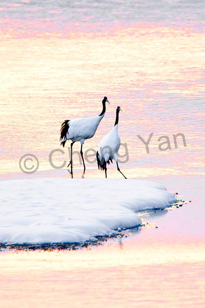 red-crowned-cranes-011