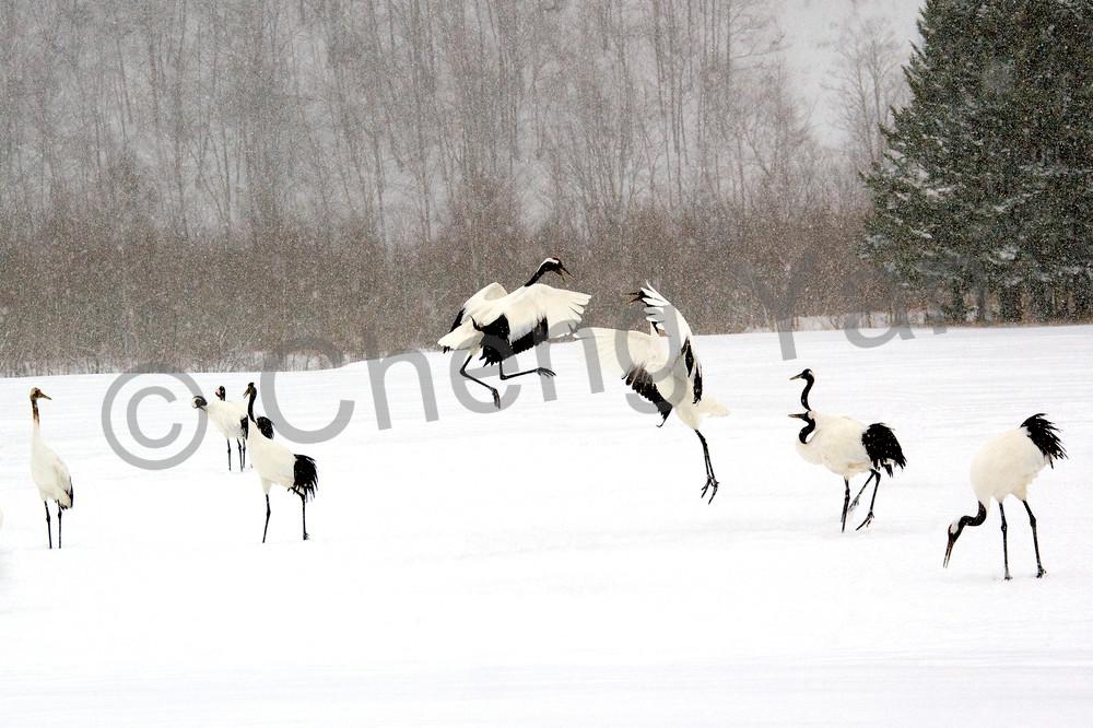 red-crowned-cranes-012