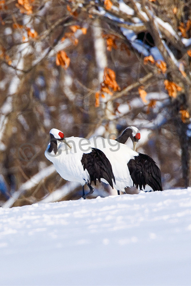 Red Crowned Cranes 018 Photography Art | Cheng Yan Studio