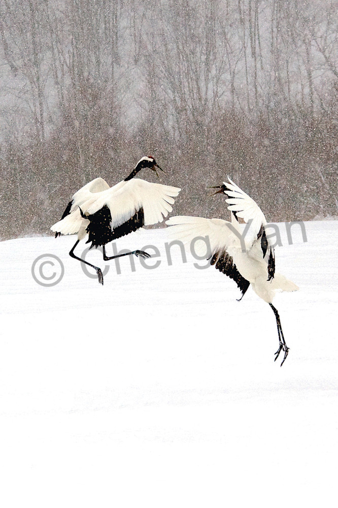 Red Crowned Cranes 033 Photography Art | Cheng Yan Studio