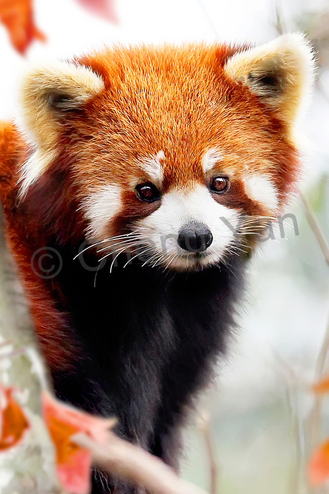 Red Pandas 004 Photography Art | Cheng Yan Studio