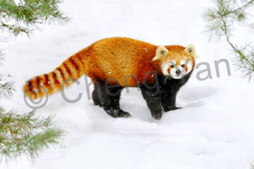 Red Pandas 005 Photography Art | Cheng Yan Studio