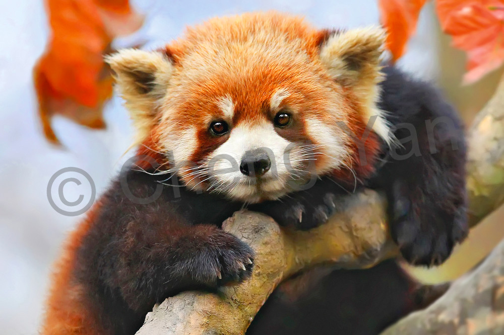 Red Pandas 002 Photography Art | Cheng Yan Studio