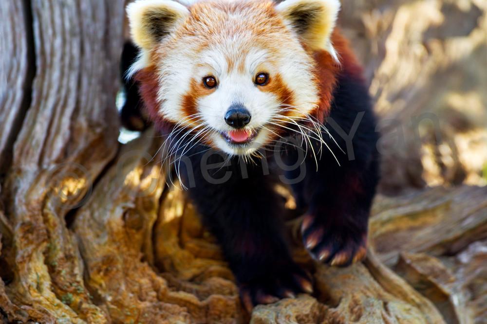 Red Pandas 006 Photography Art | Cheng Yan Studio