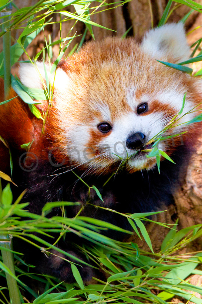 Red Pandas 007 Photography Art | Cheng Yan Studio