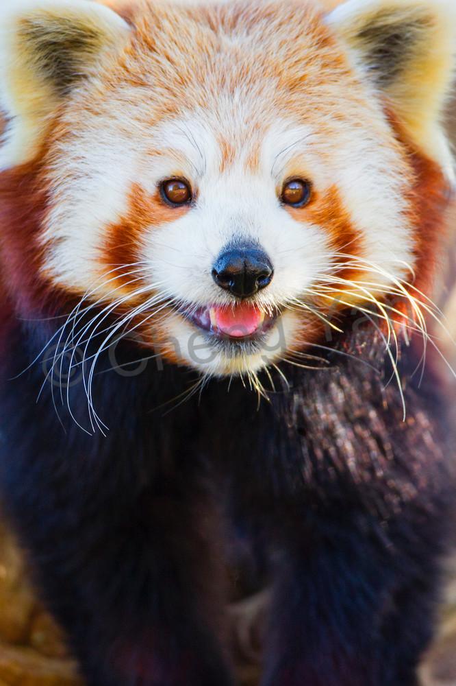 Red Pandas 010 Photography Art | Cheng Yan Studio