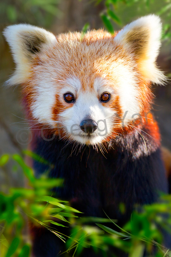 Red Pandas 009 Photography Art | Cheng Yan Studio