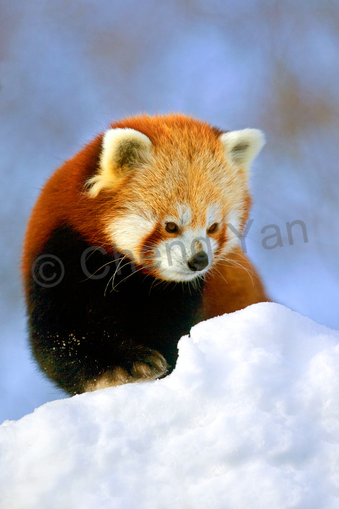 Red Pandas 013 Photography Art | Cheng Yan Studio