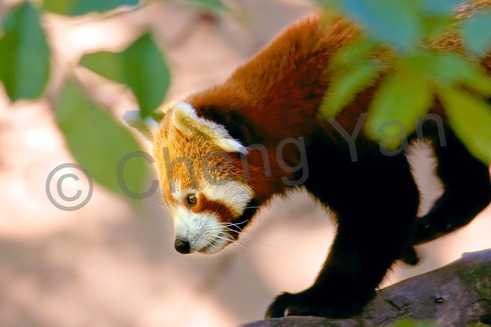 red-pandas-015