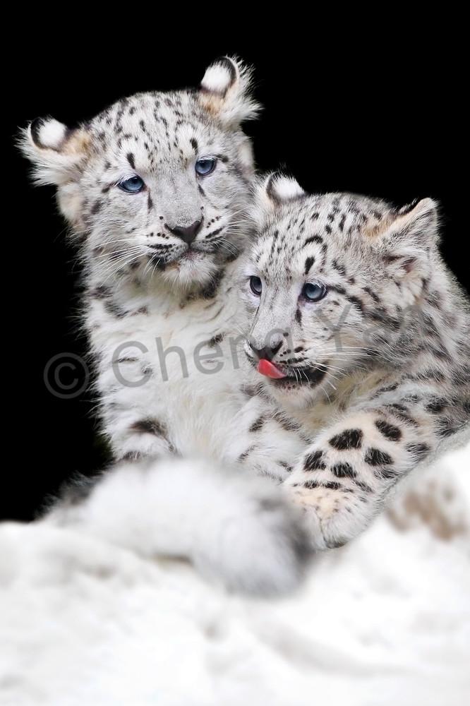 Snow Leopards 006 Photography Art | Cheng Yan Studio