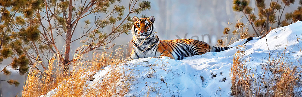 Tigers 001 Photography Art | Cheng Yan Studio