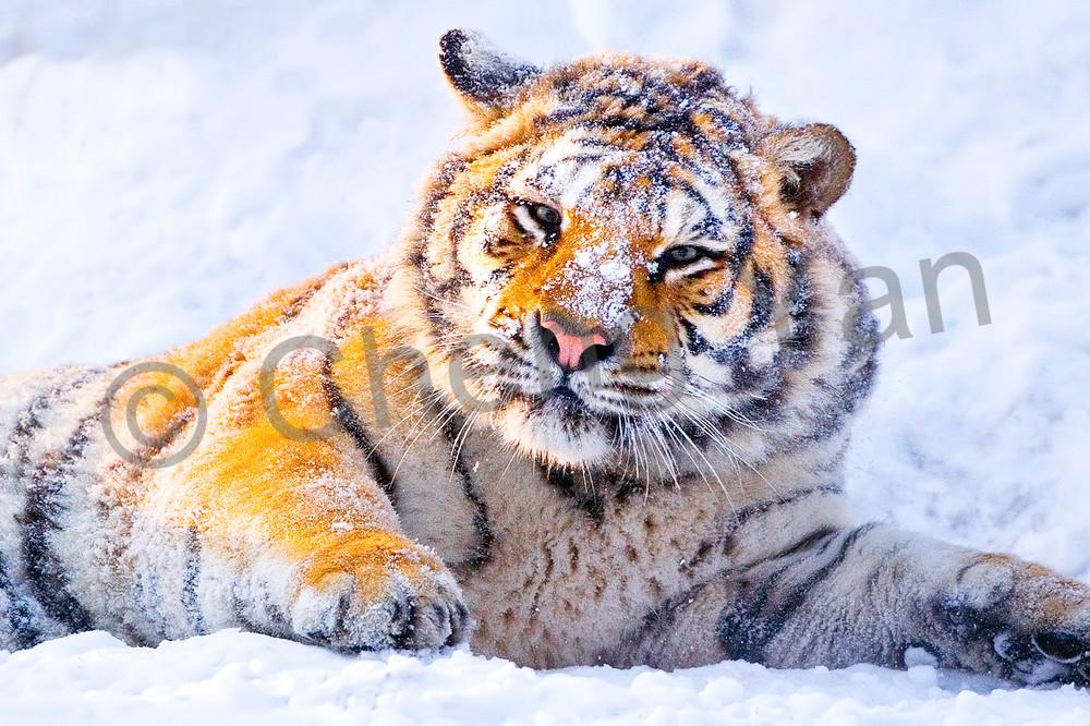 tigers-008