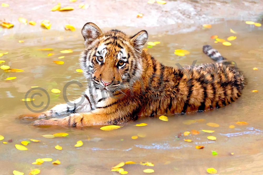 tigers-011